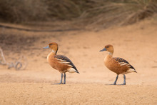 Fulvous Whistling Duck / Dendr...