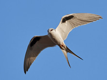 African Swallow-tailed Kite (Chelictinia Riocourii)