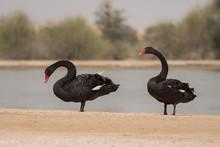 Black Swan / Cygnus Atratus. Al Qudra Lake. UAE