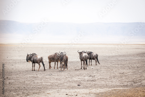 Spoed Foto op Canvas Wildebeests, also called gnu antelopes (Connochaetes) standing in dust at the bottom of ancient Ngorongoro crater, Tanzania