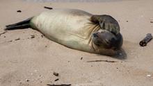 Monk Seal Oahu North Shore