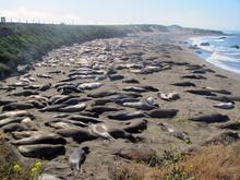 Elephant Seals Sleeping On Bea...