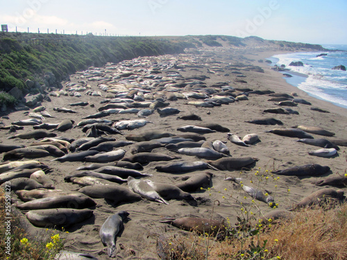 Elephant seals sleeping on beach in Elephant Seal Vista Point, San Simeon, Calif Fototapeta