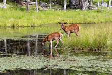 Young White-tailed Deer Standing In Profile In Shallow Water And Other Deer Staring Nearby