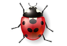 Realistic Ladybug From Top View. Vector Illustration For Nature Design With Bug
