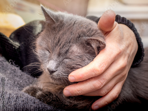 Fotografía  The woman strokes her favorite cat. Gray cat is resting_