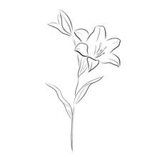 Lilia Flower Vector Illustration