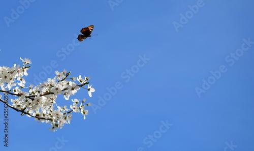 Hintergrund blühende Kirschzweige und fliegender
