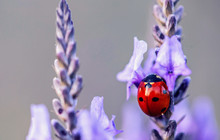 Seven Spot Lady Bug On Purple Lavander Flower