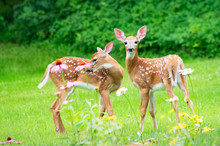 Twin White Tailed Deer Fawns Stand Amid Flowers
