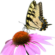 Eastern Tiger Swallowtail Butterfly On A Purple Cone Flower Isolated