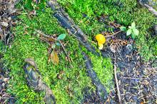 Yellow Fly Acaric Mushroom Tor...