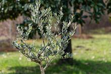 Pianta Di Ulivo Cultivar Olive Ascolane In Una Giornata Di Sole, Prodotti Della Terra