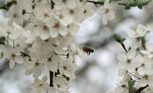 A Hardworking Bee Collects Honey On The Beautiful Flowers Of Wild Plum On A Sunny, Warm Spring Day.