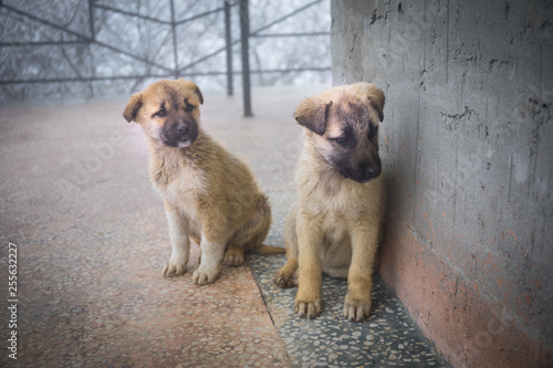 Foto  Two mixed breed puppies sitting in front view