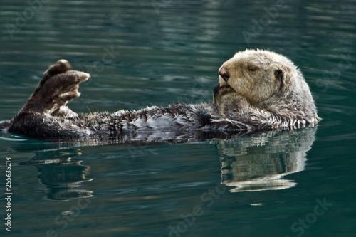 Photo  Sleepy Sea Otter floating around the harbor