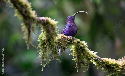 Violet sabrewing (Campylopterus hemileucurus), adult male, sticking his tongue way out. Monteverde National Park, Costa Rica.