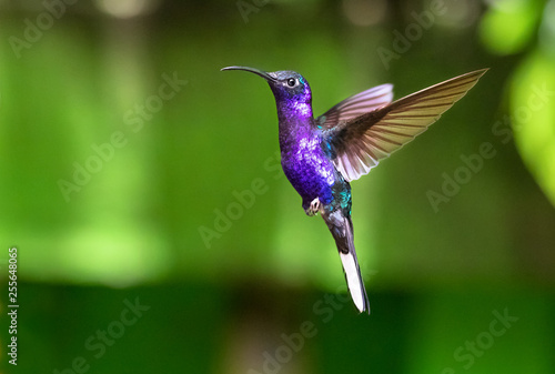 Violet sabrewing (Campylopterus hemileucurus), adult male, in flight. Monteverde National Park, Costa Rica.