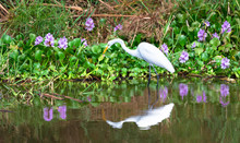 Great Egret (Ardea Alba) Walki...