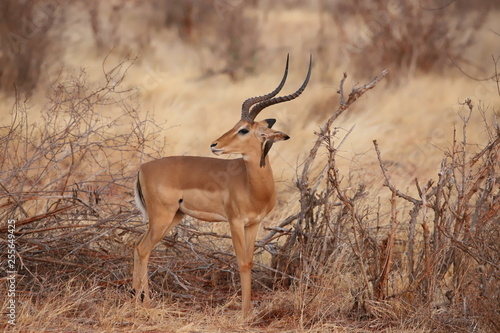 Deurstickers Antilope A bird whispers something to the Impala