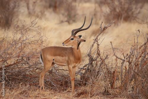 Spoed Fotobehang Antilope A bird whispers something to the Impala