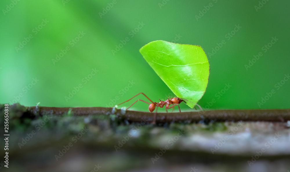 Fototapety, obrazy: Leaf-cutter ant (Atta sp.) near Puerto Viejo de Sarapiqui, Costa Rica.