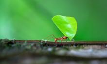 Leaf-cutter Ant (Atta Sp.) Nea...