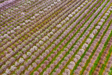 Rows Of Blooming Almond Trees, Aerial Photo Taken In Northern California Near Sacramento