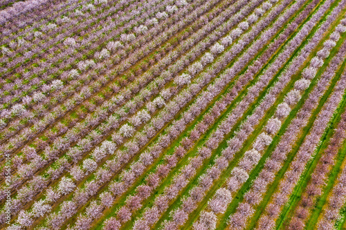 Rows of blooming almond trees, aerial photo taken in Northern California near Sa Fototapeta