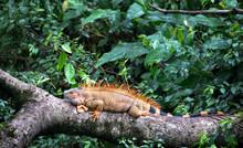 Green Iguana (Iguana Iguana) Near Puerto Viejo De Sarapiqui, Costa Rica.