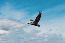 Brown Pelican Feeds Over The Inter Coastal Waters Of Hilton Head Island, South Carolina
