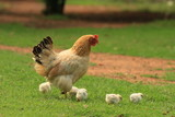 Spring at a farm - a hen with her chickens