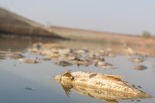 Closeup Of Died Fishes In A Dried Up Empty Reservoir Or Dam Due To A Summer Heatwave, Low Rainfall, Pollution And Drought In North Karnataka,India