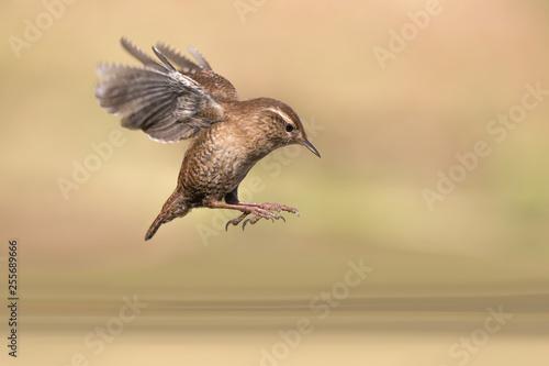 Slika na platnu Incredibile natura, scricciolo comune in volo sopra il fiume (Troglodytes troglo