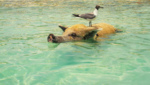 Funny Pig Swims In The Sea With A Seagull On His Back