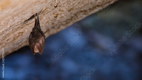 Close up small sleeping horseshoe bat covered by wings, hanging upside down on top of cold natural rock cave while hibernating Wallpaper Mural