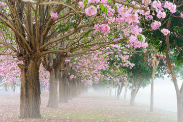FototapetaPink trumpet tree row with Mist in morning time