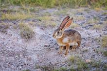 African Hare In Amboseli Nationsl Park, Kenya