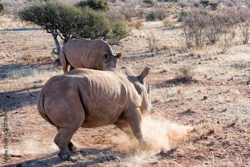 Vászonkép White rhino in Namibia