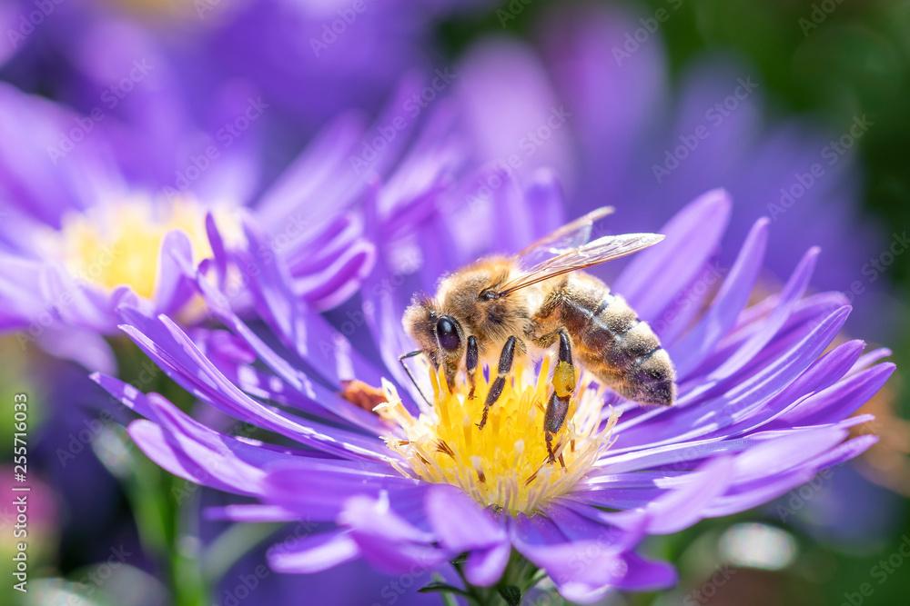 Fototapeta Western honeybee - Apis mellifera - pollinates an Aster