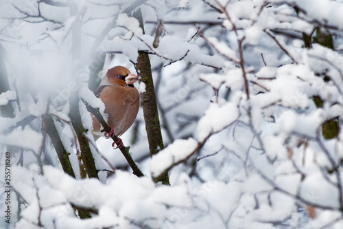 Fotomural Hawfinch - Coccothraustes coccothraustes sitting on the branch in winter