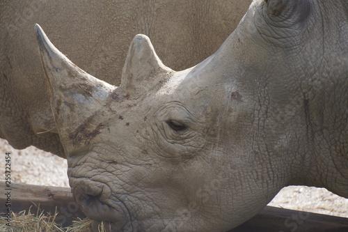 Poster Rhino Couple de rhinocéros blanc entrain de manger dans un abreuvoir sur un sol en sable