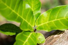 Ficus Lyrata Plant Close-up In...