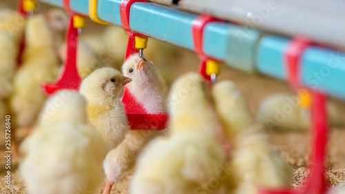 Foto Little yellow chicken chicks in feeding water