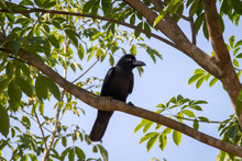 The New Caledonian Crow Bird On The Tree. Raven In Tropical Jungle