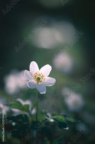 Fototapeta fleur blanche sauvage de printemps