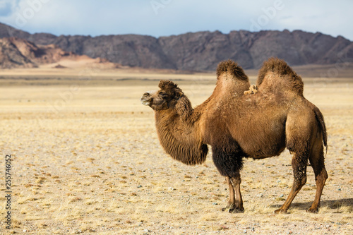 Stampa su Tela Camel in the foothills of Western Mongolia.