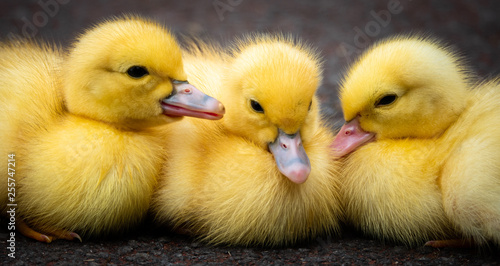 Slika na platnu Group of ducklings of a muscovy duck on Sao Jorge island on the Azores, Portugal
