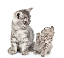 Playful Kitten With Adult Cat. Isolated On White Background