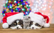 Baby Kitten Between Sleepy Australian Shepherd Puppies In Red Santa Hats With Christmas Tree On Background